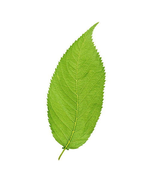 Green leaf. Isolated on white background stock photo