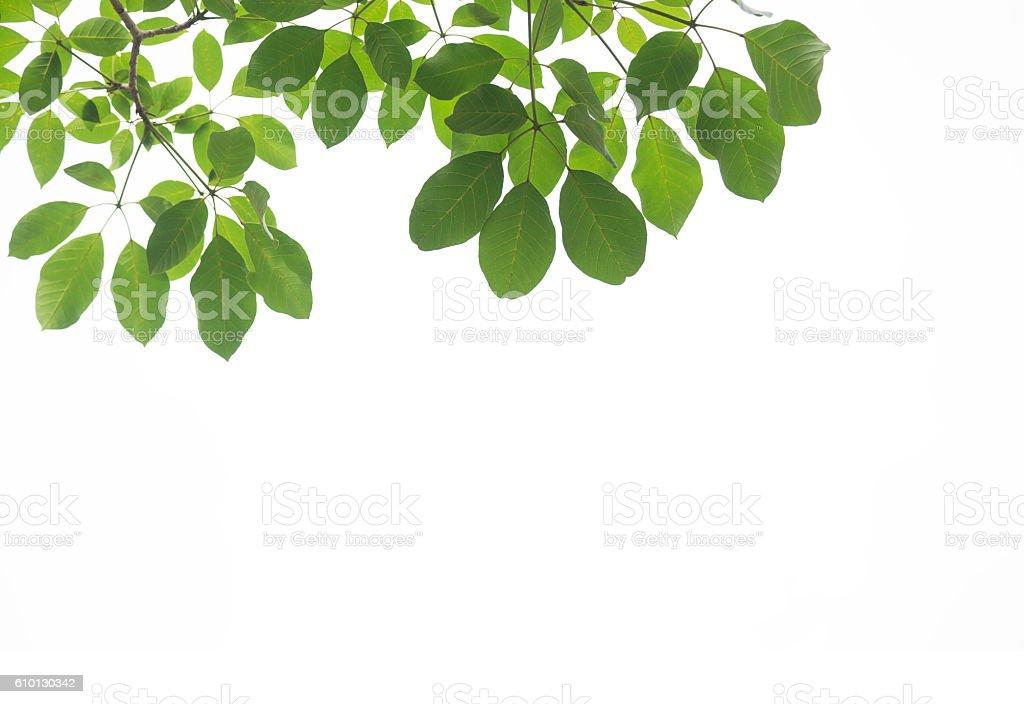Folha verde isolado no fundo branco - foto de acervo