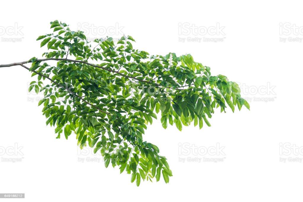 Verde con hojas aisladas sobre fondo blanco - foto de stock