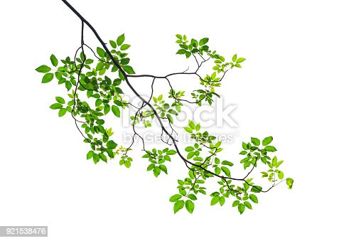 istock Green leaf isolated on white background 921538476