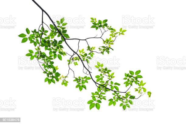 Photo of Green leaf isolated on white background