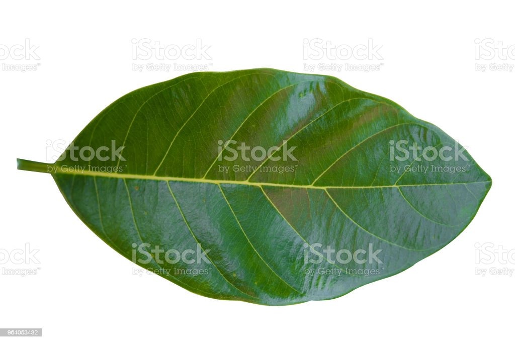 Green leaf isolated. - Royalty-free Appearance Stock Photo