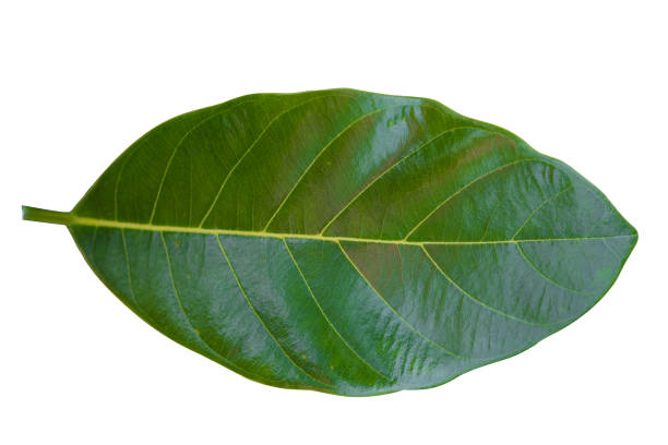 green leaf isolated. - tree logo stock photos and pictures
