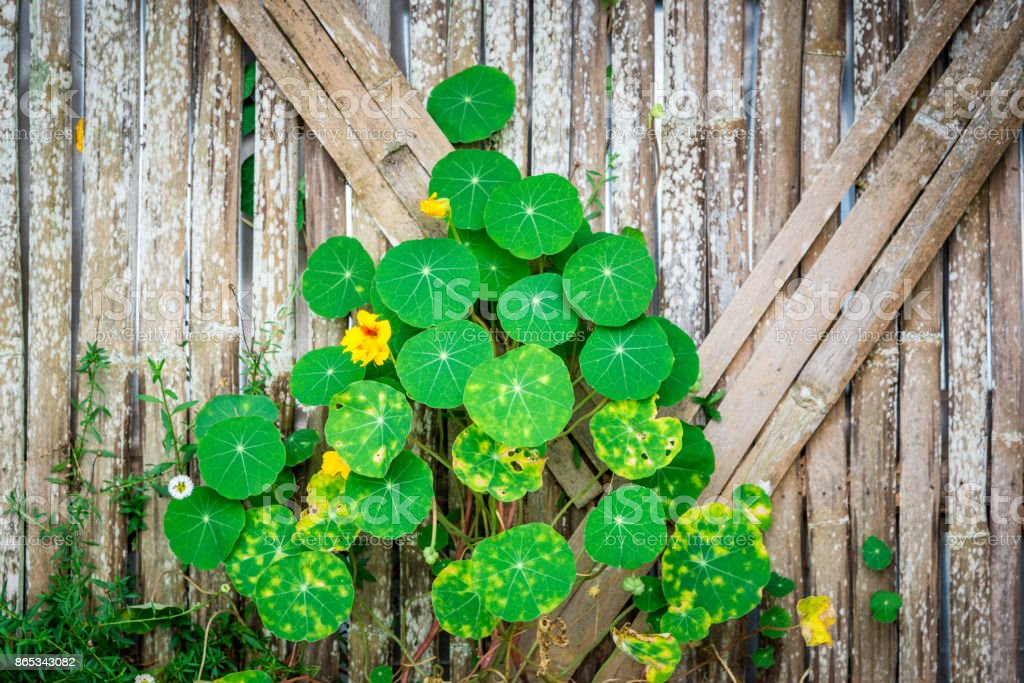 Green Leaf Ivy And Yellow Flower On Bamboo Wall Stock Photo