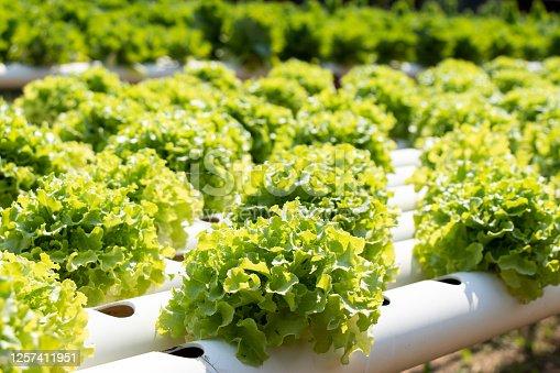 Green leaf lettuce farm that plant as hydroponics method
