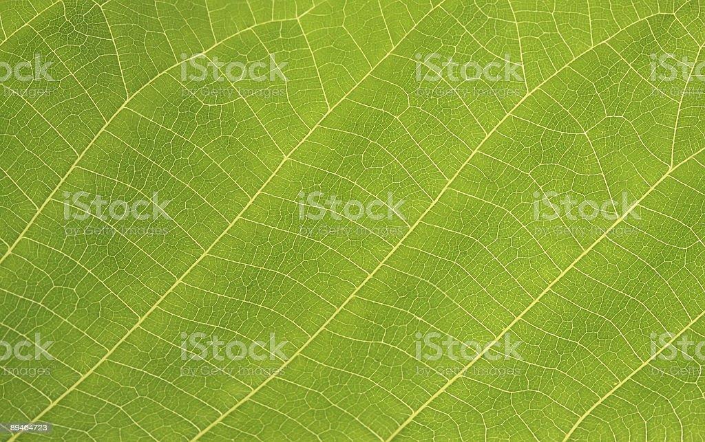 Green leaf. Macro royalty-free stock photo