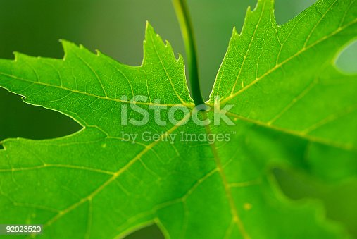 istock Green leaf maple 92023520