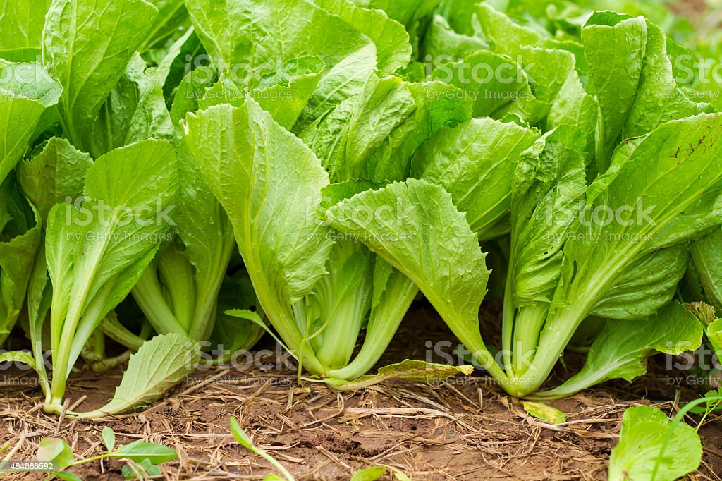 Green leaf mustard stock photo
