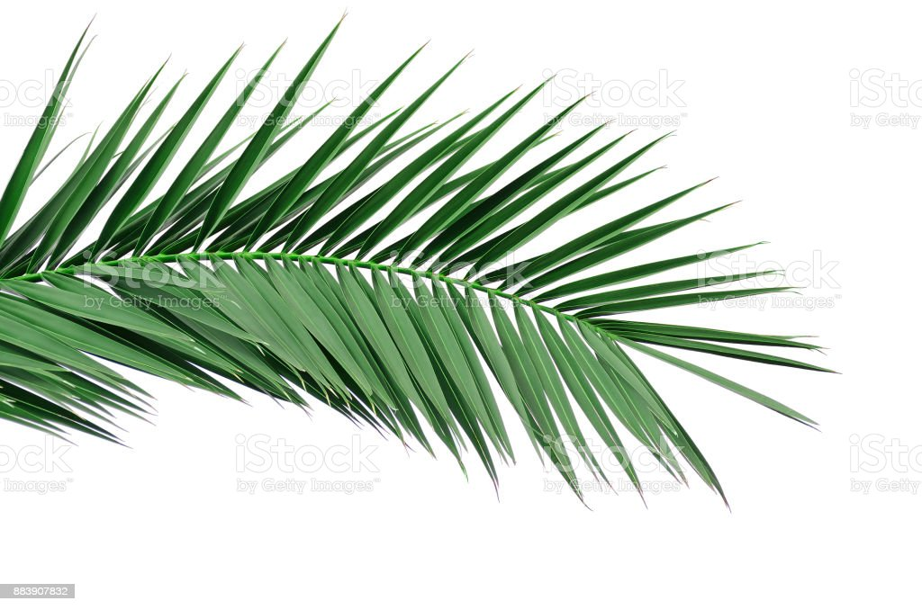 Green leaf of a palm tree. Isolate on white background. stock photo