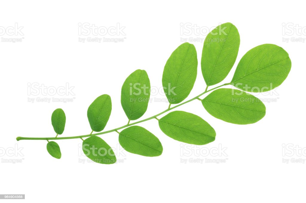 Green leaf of acacia tree isolated on white background - Royalty-free Acacia Tree Stock Photo