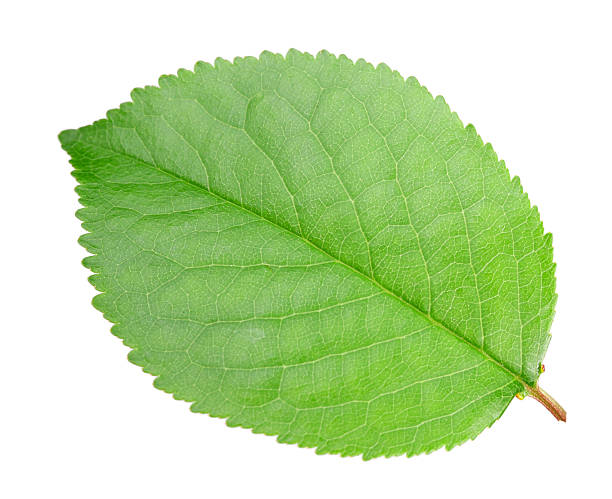 Royalty Free Apple Tree Leaves Pictures Images and StockGreen Apple Tree Leaves