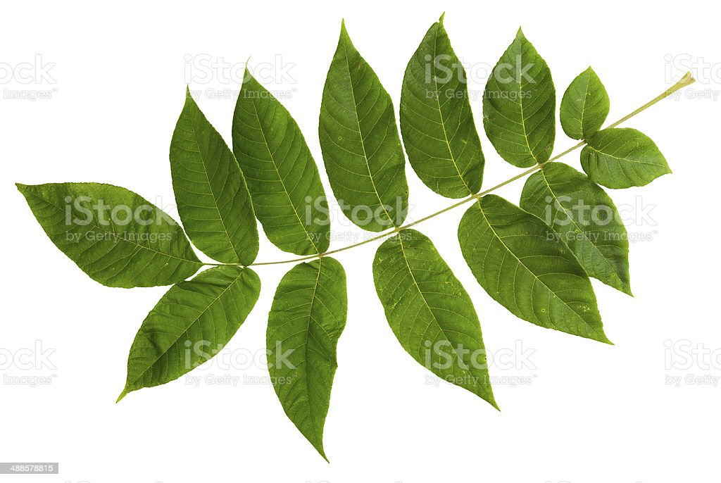 Green leaf of ash-tree isolated on white background stock photo