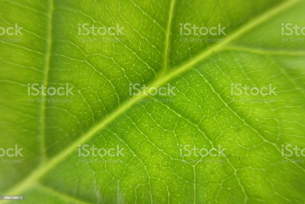 Green leaf of avocado, macro stock photo