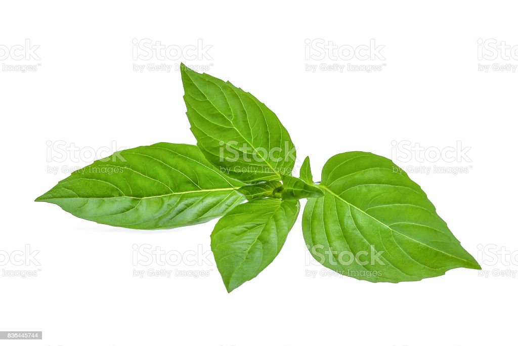 green leaf of basil herb isolted on white background stock photo