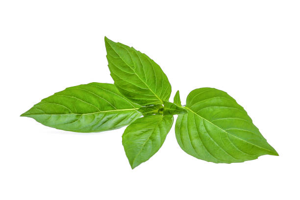 green leaf of basil herb isolted on white background - basil stock photos and pictures