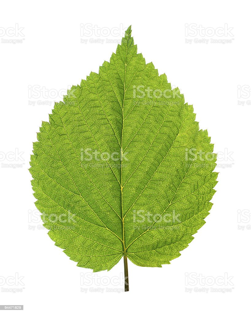 green leaf of birch tree stock photo