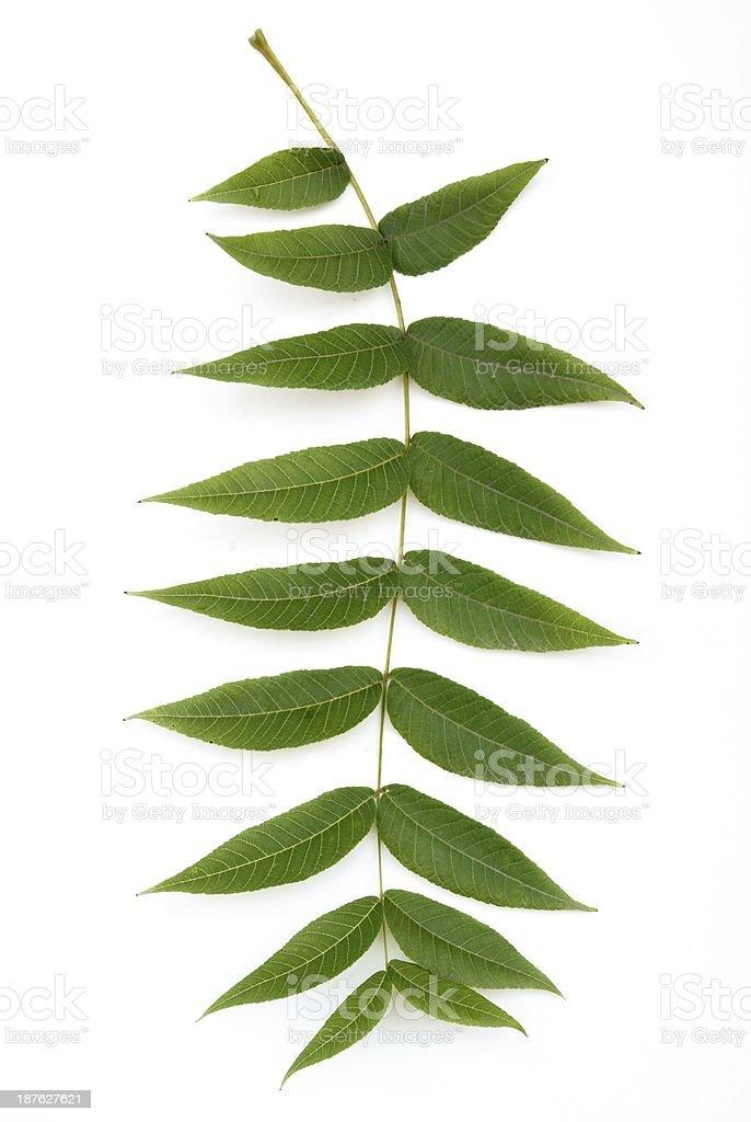 green leaf of black walnut tree stock photo