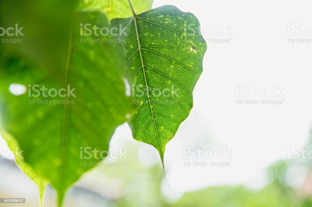 Green leaf of Buddha Pho leaf  Bothi leaf or Bho leaf in Thailand temple stock photo