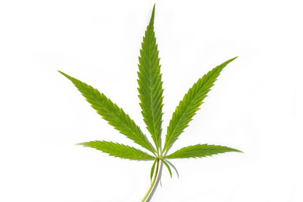 grünes blatt von cannabis, marihuana, die isoliert auf weißem hintergrund, medizinische hanf legalisierung - hanfblatt stock-fotos und bilder