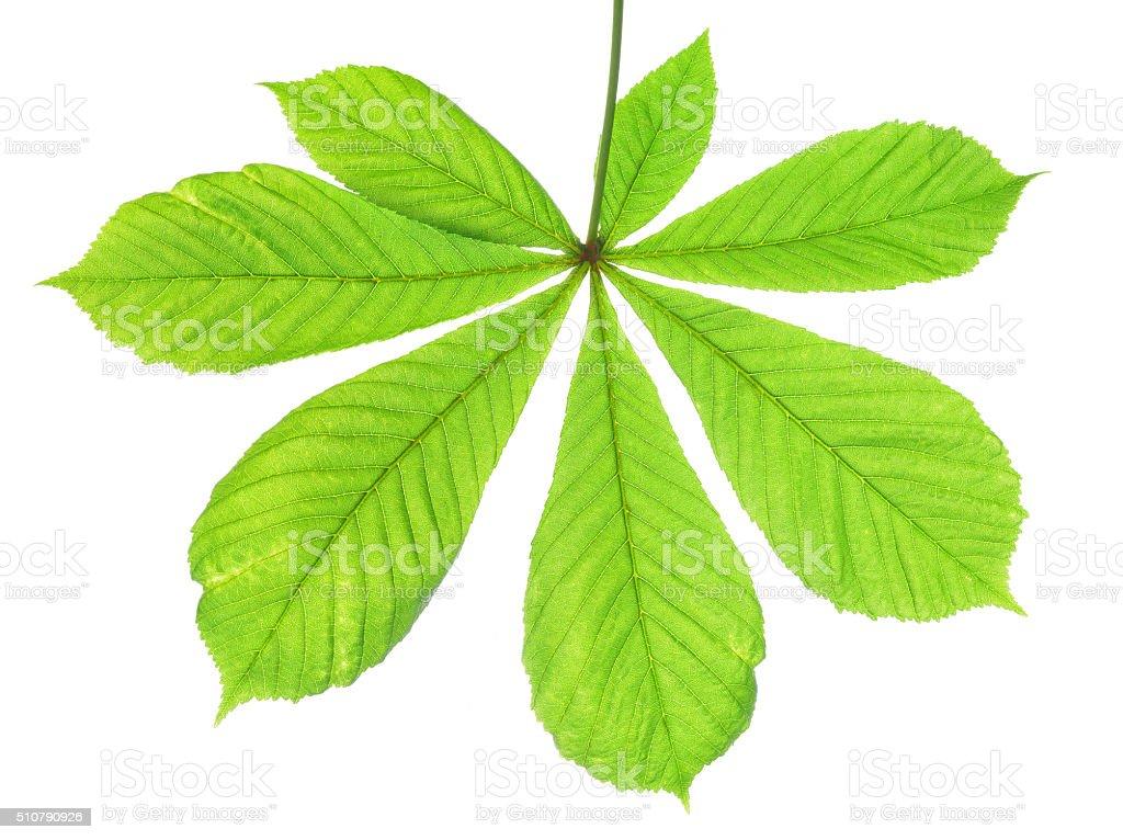 green leaf of chestnut tree stock photo