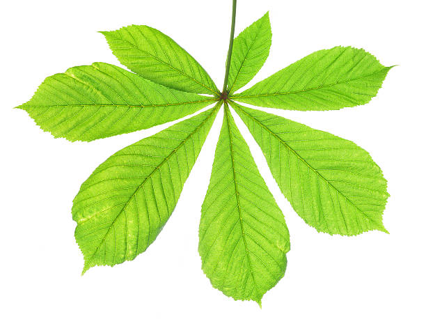 green leaf of chestnut tree stock photo