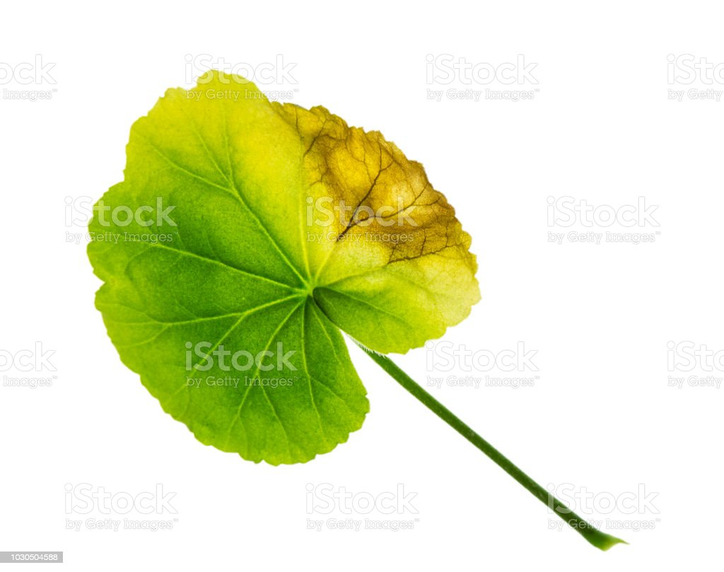 Green Leaf Of Geranium Withered Limp Sick On One Side Stock