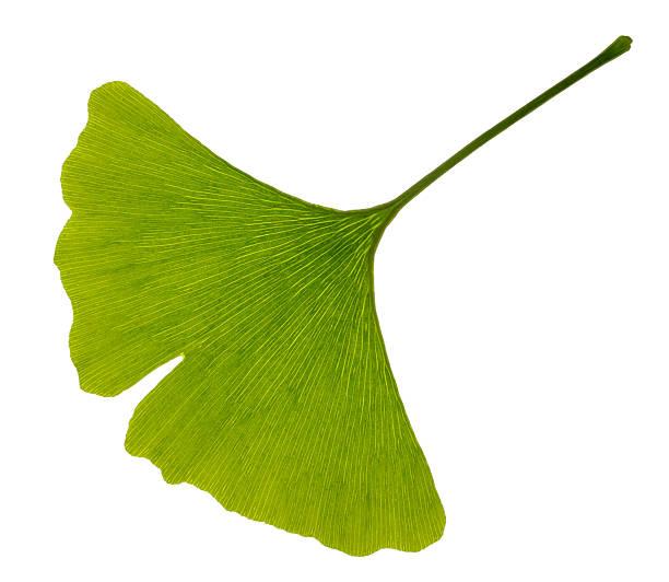 green leaf ginkgo - ginkgo stock-fotos und bilder