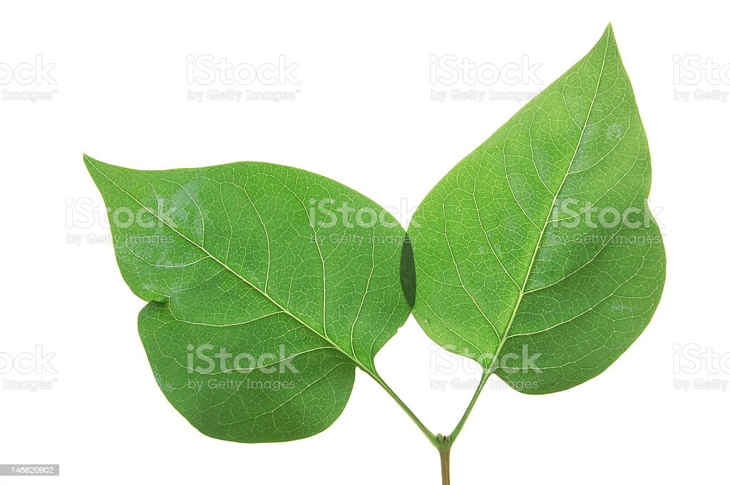 Green leaf of Lilac . Design Element royalty-free stock photo