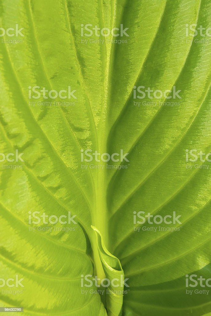 green leaf of lily royalty-free stock photo