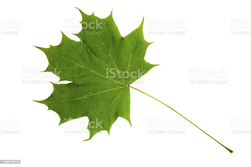 Green leaf of maple tree isolated on white background stock photo