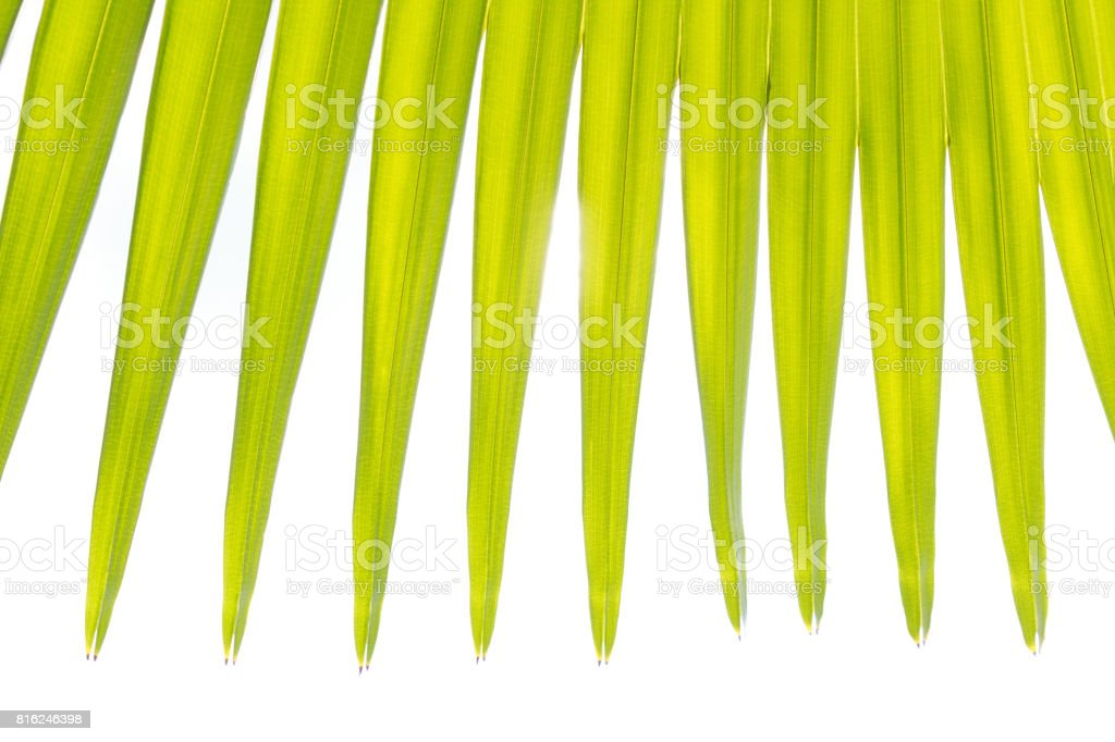 Green leaf of palm tree background stock photo