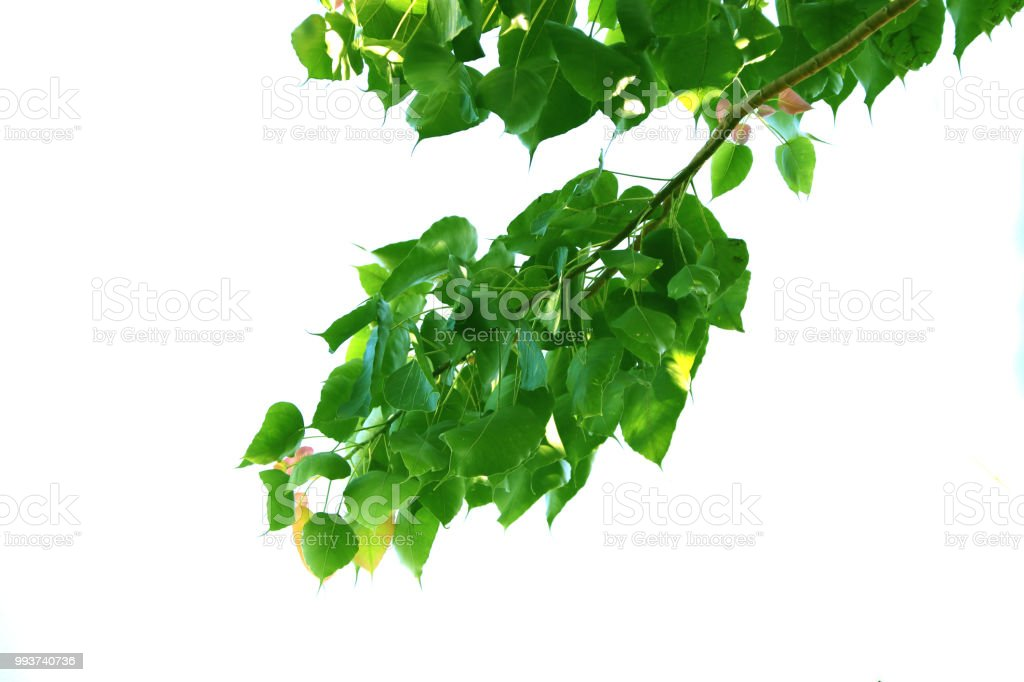Green leaf of sacred fig tree style and shape isolated on white background. stock photo