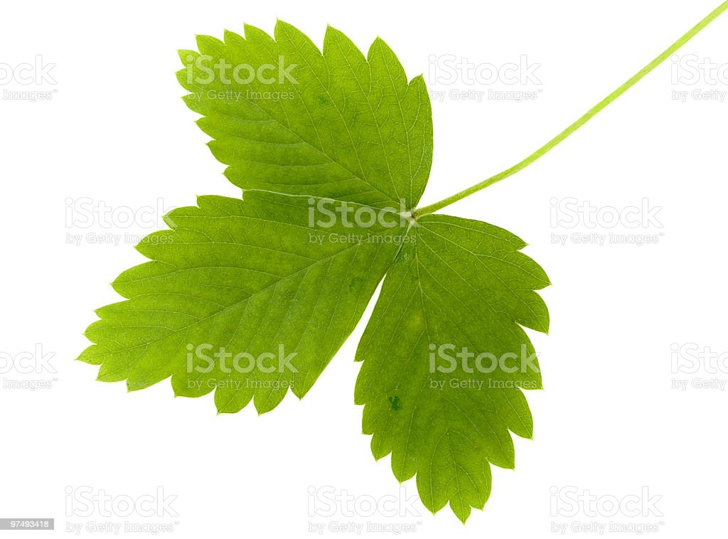 green leaf of wild strawberry royalty-free stock photo