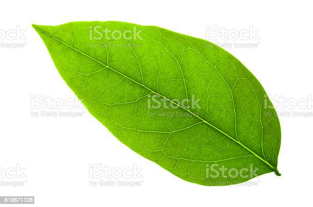 Green leaf on a white with clipping path picture id619671108?b=1&k=6&m=619671108&s=612x612&h=cn1zr2xgpenzmexd2otawy8kdrrk3u57xqyhuhhjydk=