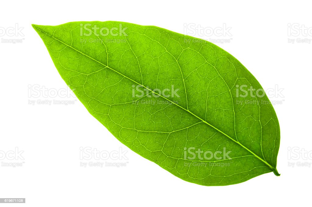 green leaf on a white with clipping path stock photo