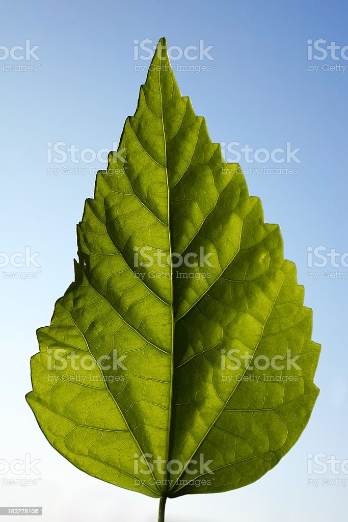 Green leaf on blue royalty-free stock photo