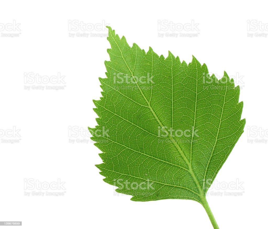 green leaf on pure white background royalty-free stock photo