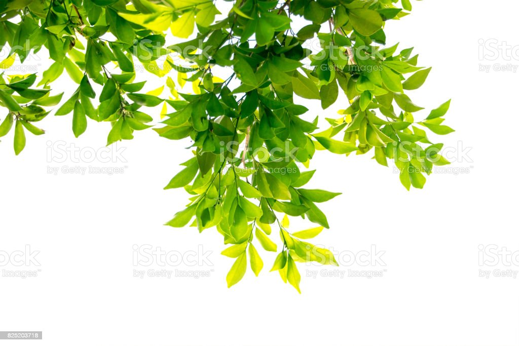 green leaf on the branches isolate on white background stock photo