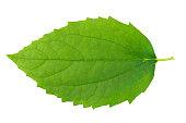 istock Green leaf on wbite background. 182827556