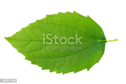 Leaf Jasmine