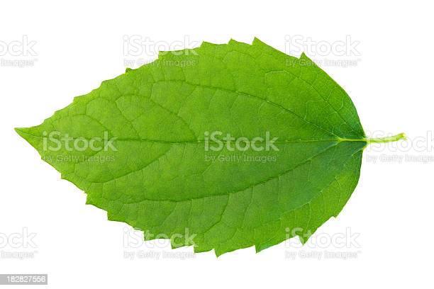 Photo of Green leaf on wbite background.