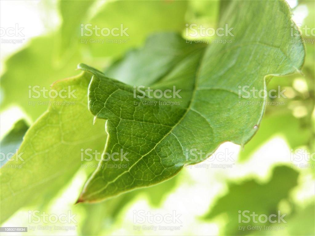 Green leaf on white bacground fresch garden stock photo