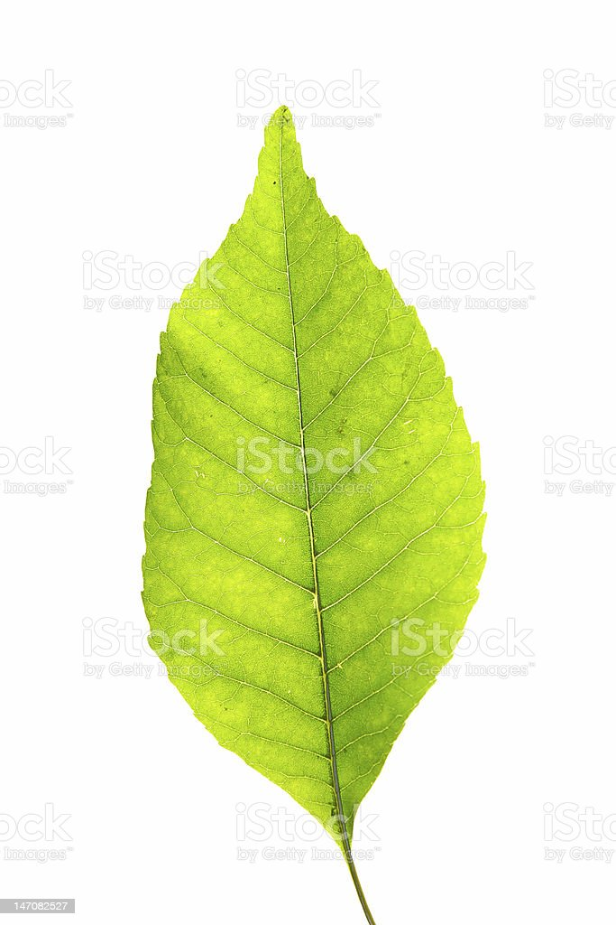 green leaf over white royalty-free stock photo