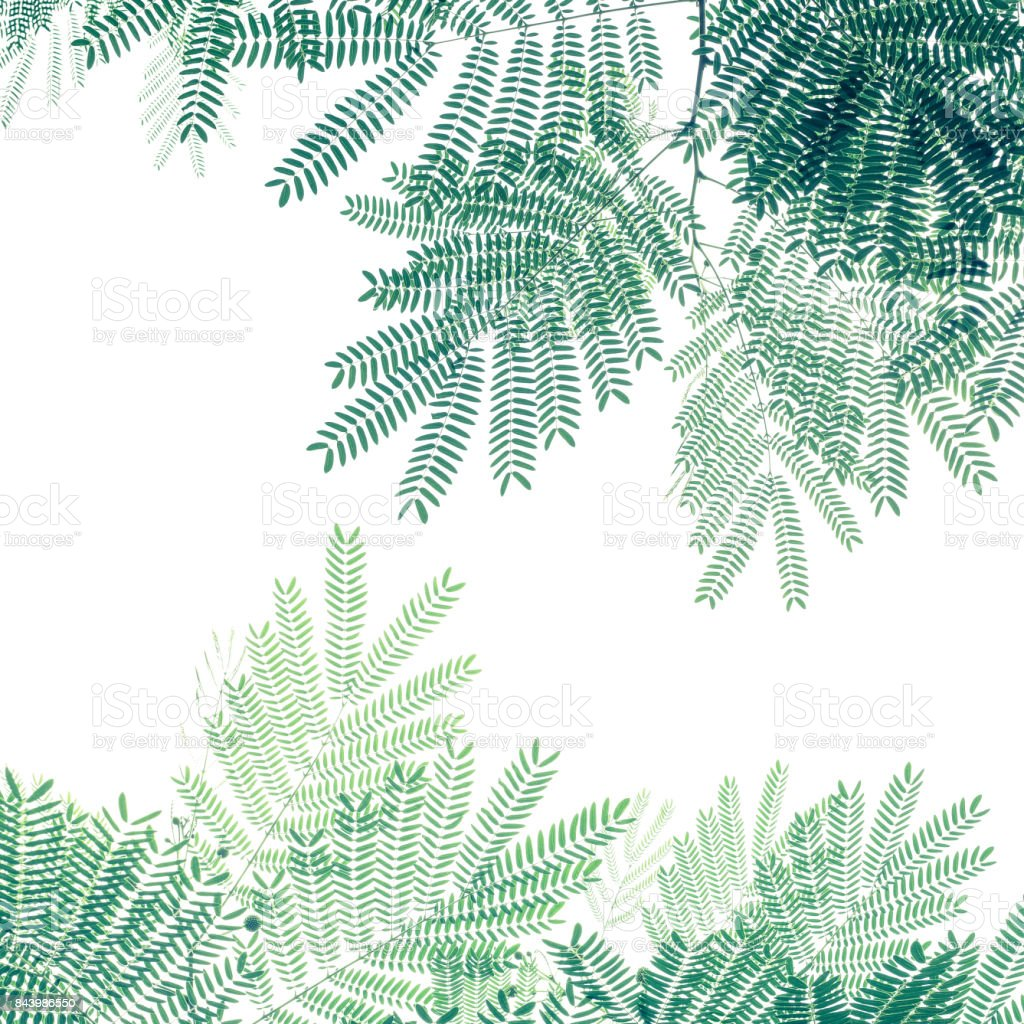 Green leaf pattern on white background, nature creative layout of White Popinac tree (Leucaena leucocepphala) the tropical plant. stock photo