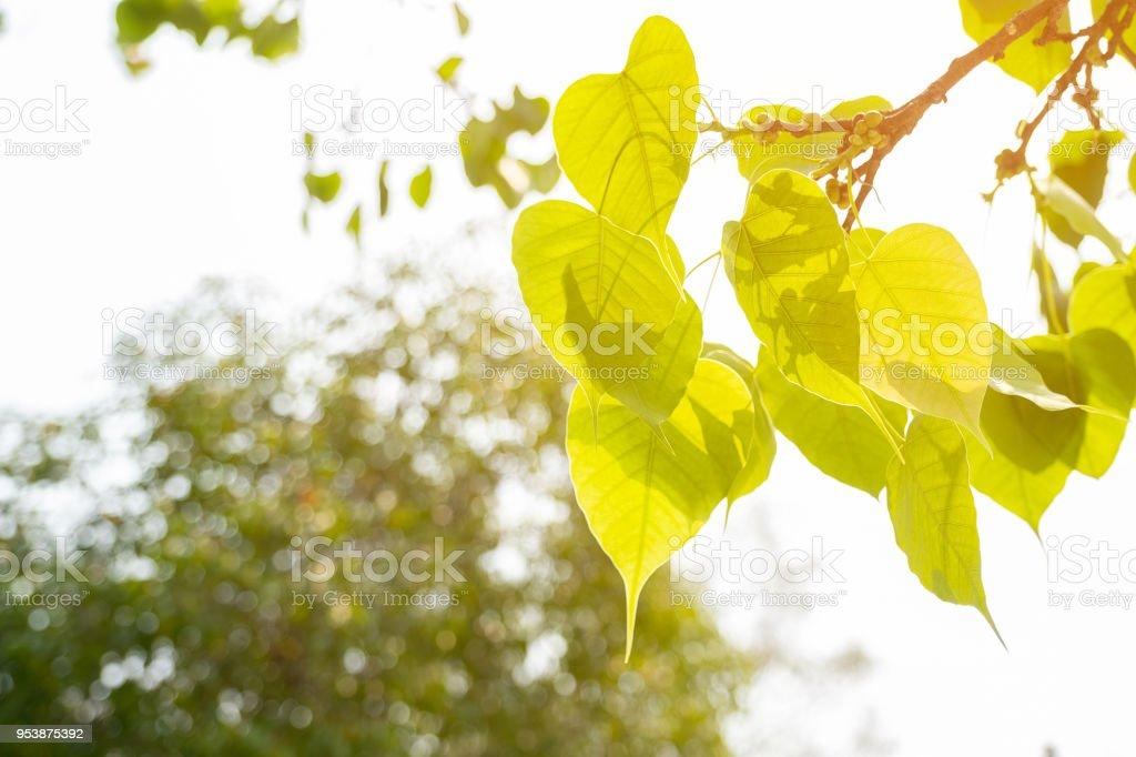 Green leaf Pho leaf, Bo leaf have v-shape or heart shape stock photo