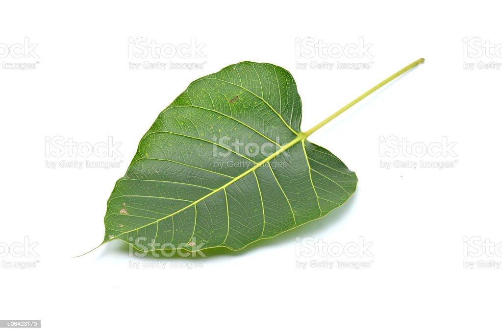 Green leaf Pho leaf, (bo leaf,bothi leaf) stock photo