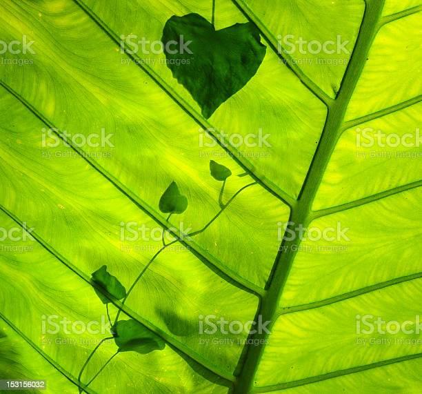 Green leaf picture id153156032?b=1&k=6&m=153156032&s=612x612&h=f8gym0z9xcyuvqczo df58sdhimpkbfekpea9ubgz 4=