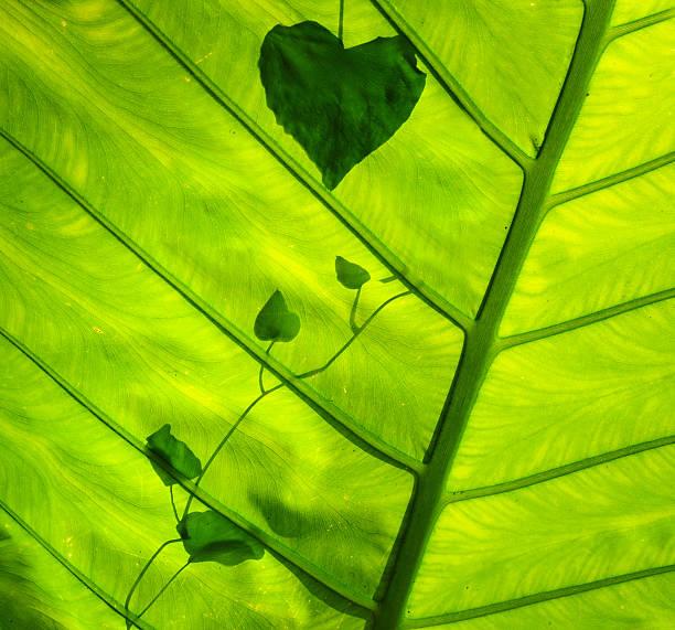 Green leaf picture id153156032?b=1&k=6&m=153156032&s=612x612&w=0&h=ehie9px 5wigq0crvwxfrkqxlrhp7sfvusw7wmd 4rw=