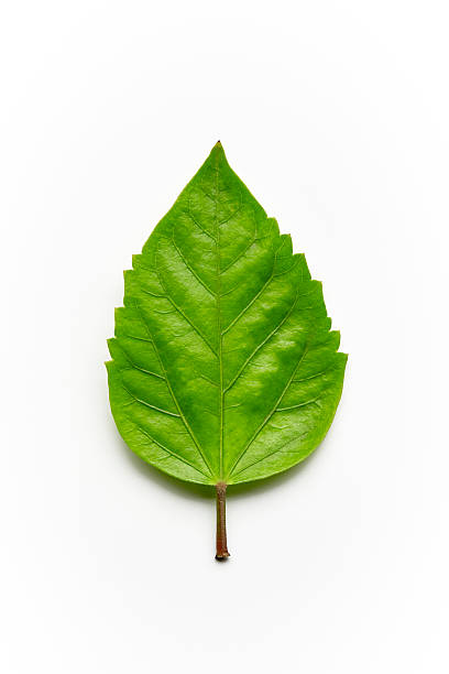 Green feuille - Photo
