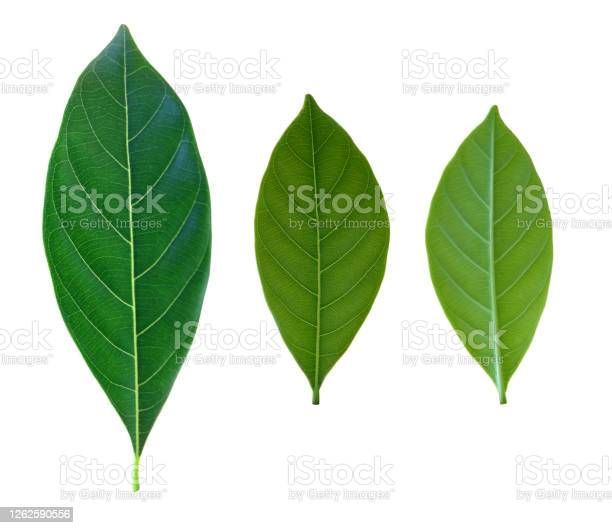 Photo of Green  leaf set isolated on white background with clipping path